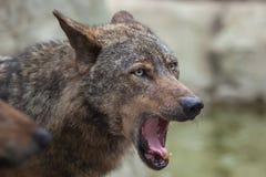 Iberian wolf (Canis lupus signatus). Stock Image