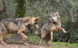 Iberian wolves flirting. Couple of iberian wolves flirting Royalty Free Stock Photo