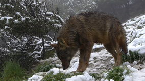 Iberian wolves stock video