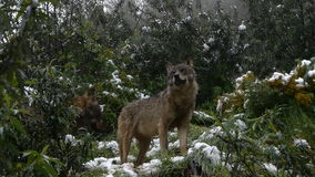 Iberian wolves stock video footage