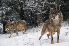 Iberian wolves in the snow. Couple of Iberian wolves with blue eyes in winter in the snow watching in the forest royalty free stock photos