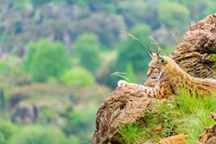 Iberic lynx resting over a rock Stock Photos