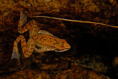 Iberica ibérien de Rana de grenouille dans un étang de Baixa-Limia, Orense, Espagne photographie stock libre de droits