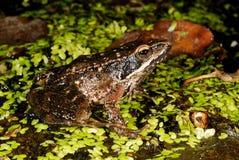 Iberica ibérien de Rana de grenouille dans un étang de Trives, Orense, Espagne image libre de droits