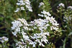 Iberis amara flower Royalty Free Stock Image