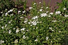 Iberis amara wiecznozielony candytuft lub odwiecznie candytuft, Fotografia Stock