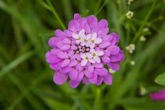 Iberis de la flor umbelado fotografía de archivo