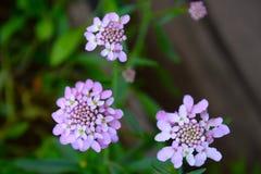 Iberis del grado de la flor Imagen de archivo