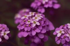 Iberis iberis flower inflorescence purple on a dark background stock image