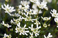 Iberis Sempervirens Candytuft Stock Image