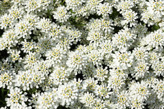 Iberis sempervirens 'Snow Cushion' ... Royalty Free Stock Image