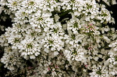 Iberis sempervirens Snowflake. Clusters of overlapping white perennial Candytuft or Iberis flowers in bloom Stock Photography