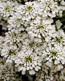 Perennial Candytuft  Stock Photos