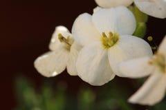 Iberiscaucasica royaltyfria foton