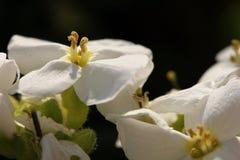 Iberiscaucasica arkivfoto