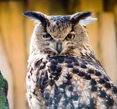 Iberisch Eagle Owl-portret stock fotografie