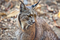 Iberisch lynxportret Royalty-vrije Stock Foto