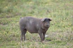 Iberisch varken royalty-vrije stock foto