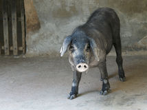 Iberisch varken in box stock afbeeldingen