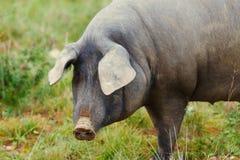 Iberisch varken in de weide royalty-vrije stock afbeelding