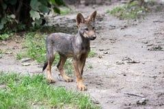 Iberisch wolfsjong stock foto's