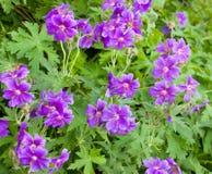 Iberische Geranium Stock Foto's
