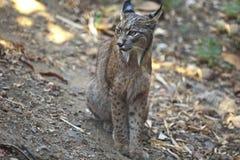 Iberische gezeten lynx Royalty-vrije Stock Foto's