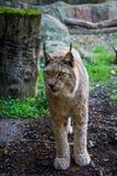 Iberische Lynx Royalty-vrije Stock Foto