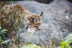 Iberische lynx die een vogel achtervolgen Stock Foto's