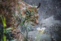 Iberische lynx die een vogel achtervolgen Stock Fotografie