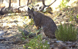 Iberische lynxgeeuw Stock Foto's