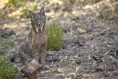 Iberische lynxzitting op alarm Royalty-vrije Stock Foto