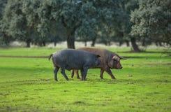 Iberische Schweine Lizenzfreie Stockfotos