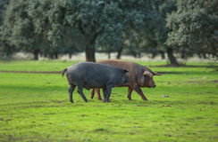 Iberische Varkens Royalty-vrije Stock Foto's
