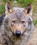 Iberische wolf Royalty-vrije Stock Foto's