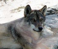 Iberische wolf Stock Afbeeldingen