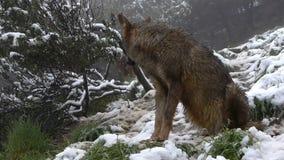Iberische wolven stock video
