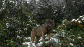 Iberische wolven stock videobeelden