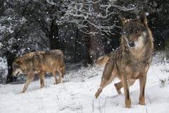 Iberische wolven in de sneeuw Royalty-vrije Stock Foto's