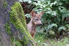Iberischer Wolfwelpe Stockfotografie