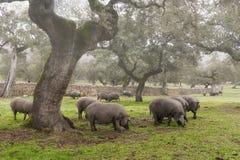 Iberisches Schwein in der Wiese lizenzfreie stockbilder