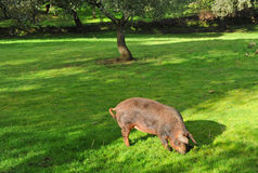 Iberyjska świnia w paśniku, Jabugo baleron, Huelva prowincja, Hiszpania Obraz Royalty Free