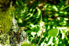 Iberyjska szmaragdowa jaszczurka zdjęcia stock