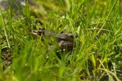 Iberyjska Zielona żaba & x28; Pelophylax perezi & x29; Zdjęcie Royalty Free
