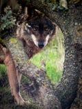 Iberyjski Wilczy Canis lupus signatus gapi się w lesie Obraz Stock