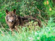 Iberyjski wilczy Canis lupus signatus w krzakach Obraz Royalty Free
