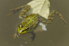 Iberyjski Zielonej żaby Pelophylax perezi Obrazy Stock