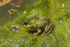 Iberyjski Zielonej żaby Pelophylax perezi Zdjęcia Stock