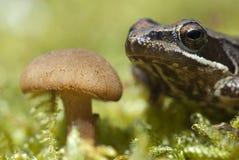 Iberyjskiego żaby Rana iberica leggy żaba zdjęcia royalty free