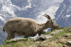 Ibex в горах alps французские Стоковая Фотография